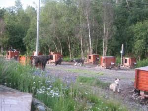 Huysky honden in Holm